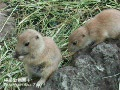 10-Blck-tailed Prairie Dog-0521-2